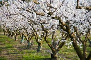 Planter un abricotier