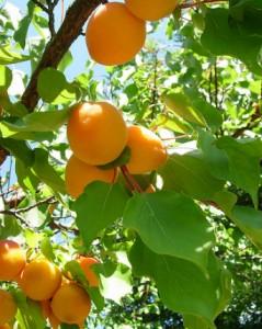 greffe abricotier