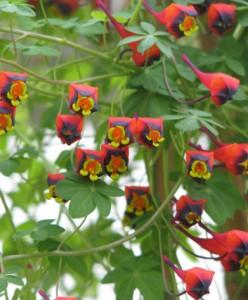 Capucine tricolore - Tropaeolum tricolor
