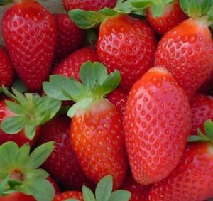 Culture des fraisiers