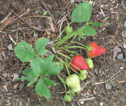 fraise planter des fraisiers jardinage bio. Black Bedroom Furniture Sets. Home Design Ideas