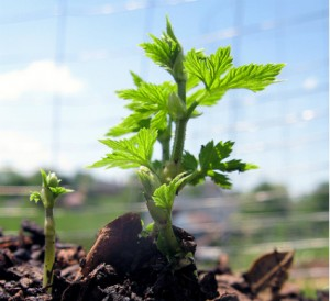 Planter du houblon