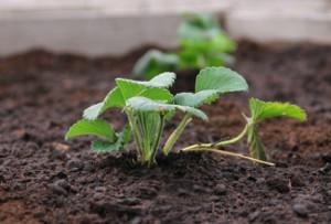 Planter fraisier