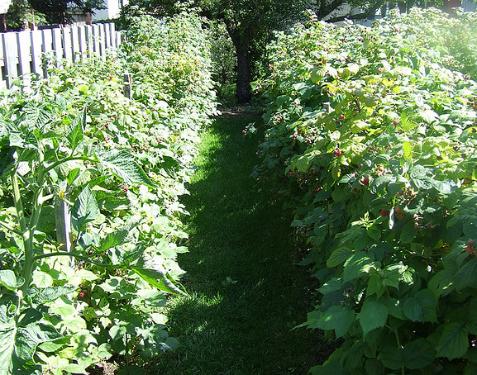 plantation et taille du framboisier jardinage bio. Black Bedroom Furniture Sets. Home Design Ideas