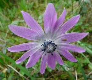anémone étoilée - Anemone stellala