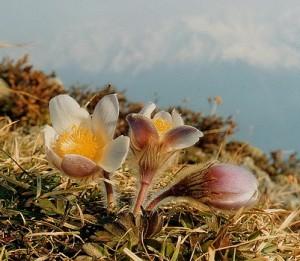 anémone de printemps - Anemone vernalis