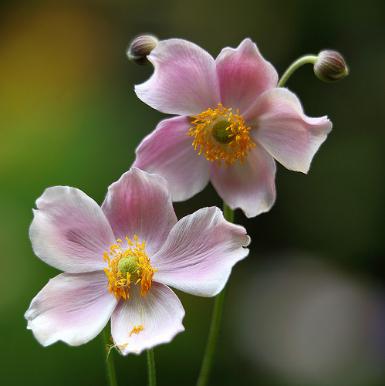 An mone plantation de l 39 an mone jardinage bio - Anemone du japon blanche ...