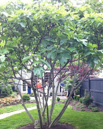 figue et figuier - planter un figuier - jardinage bio