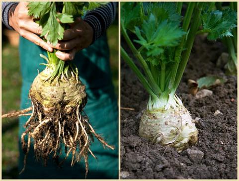 Culture Celeri Branche : c leri culture du c leri jardinage bio ~ Melissatoandfro.com Idées de Décoration