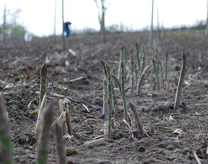 récolte des asperges