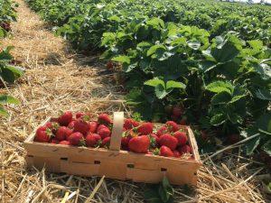 culture fraise