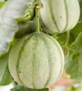 culture melon