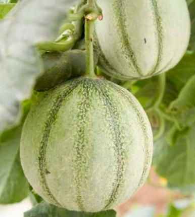 Melon culture du melon jardinage bio - Quand cueillir un melon ...