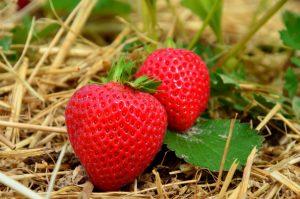 fraise culture