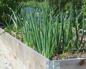 plantation oignon
