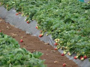 planter des fraises
