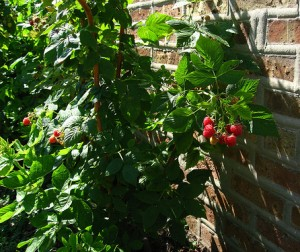 planter framboisier