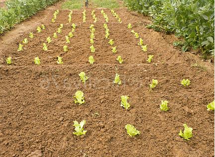 laitue - culture de la laitue - jardinage bio