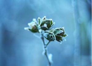protéger du gel ses plantes