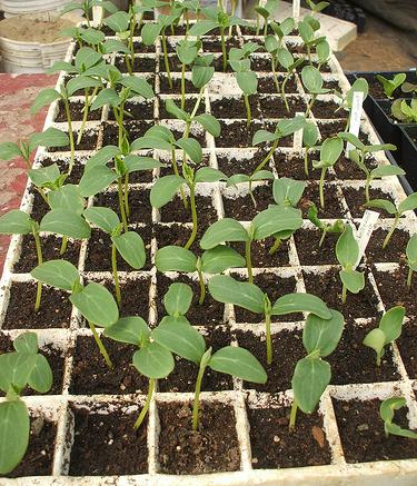 Melon archives jardinage bio net - Quand recolter les melons ...