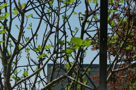 figue et figuier planter un figuier jardinage bio. Black Bedroom Furniture Sets. Home Design Ideas