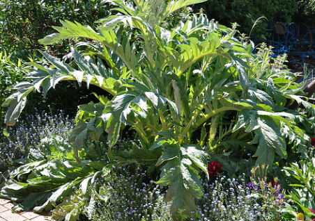 artichaut culture des artichauts jardinage bio