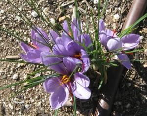 cultiver du safran