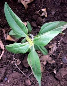 plantation artichaut