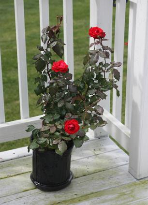 comment planter un rosier en pot jardinage bio