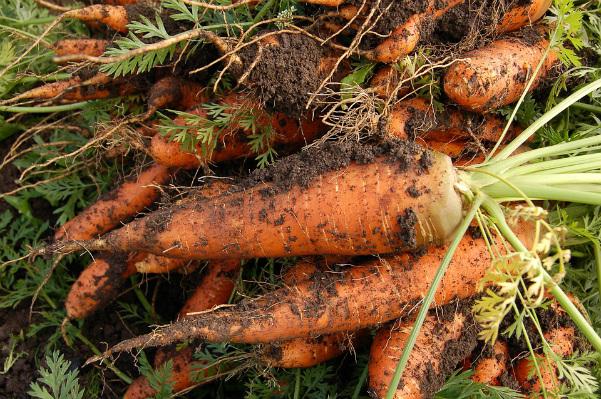 planter carottes