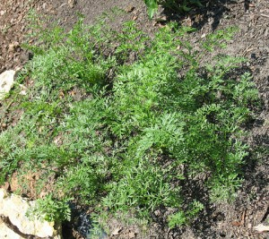 planter des carottes