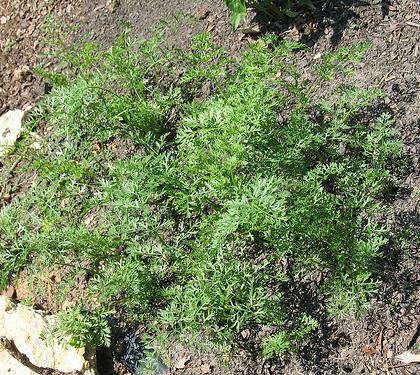 comment planter des carottes 28 images carotte semer pearltrees comment faire pousser ou. Black Bedroom Furniture Sets. Home Design Ideas