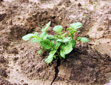 Pomme de terre planter des pommes de terre jardinage bio - Planter des pommes de terre ...