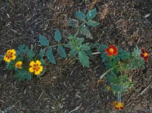 planter des tomates