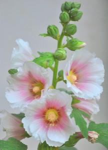 planter rose tremiere