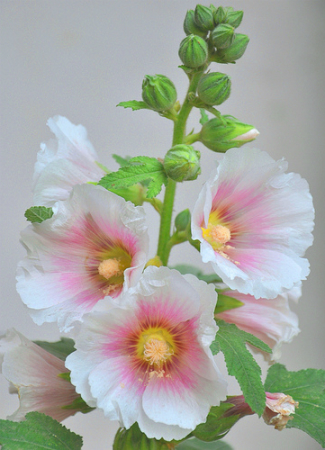 Rose tr mi re planter la rose tr mi re jardinage bio - Planter des roses tremieres ...