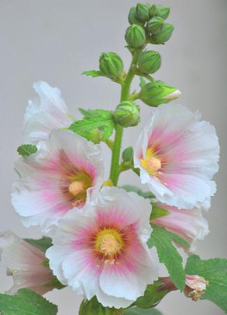 Rose tr mi re planter la rose tr mi re jardinage bio - Comment planter des asperges ...