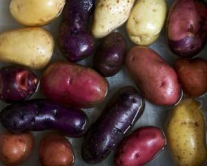 recolte pomme de terre