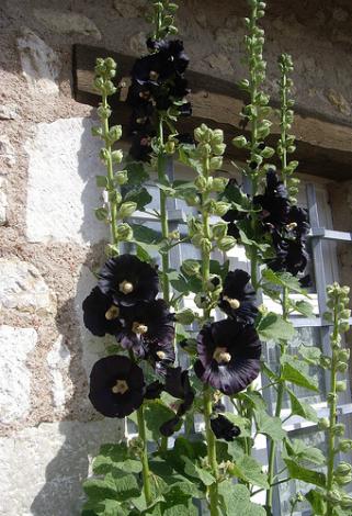 rose tr mi re planter la rose tr mi re jardinage bio. Black Bedroom Furniture Sets. Home Design Ideas