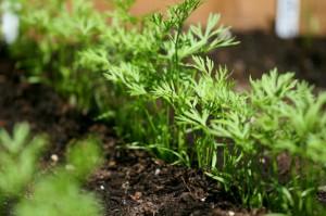 semer les carottes