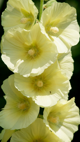 Rose tr mi re planter la rose tr mi re jardinage bio - Semer roses tremieres septembre ...