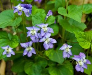 violette bigarrée - viola cucullata
