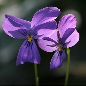 violette de l'Altaï - viola altaica