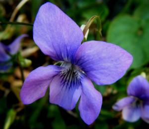 violette odorante - viola odorata