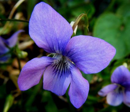 Les violettes - Culture de la violette - Jardinage bio