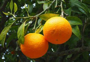 arbre oranger