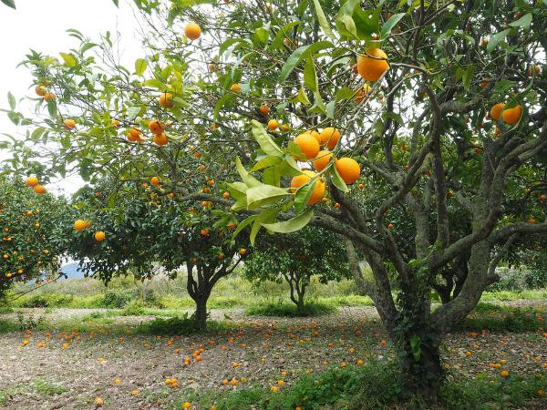 orange et oranger planter un oranger jardinage bio