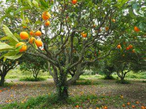 planter des orangers