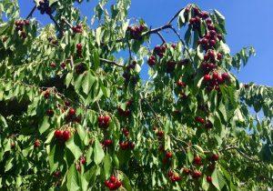 planter cerisier