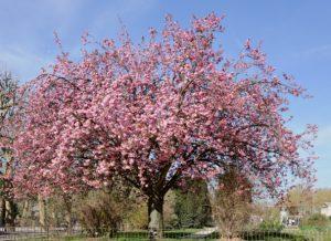 planter un cerisier